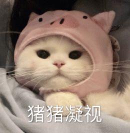 猫咪猪猪凝视
