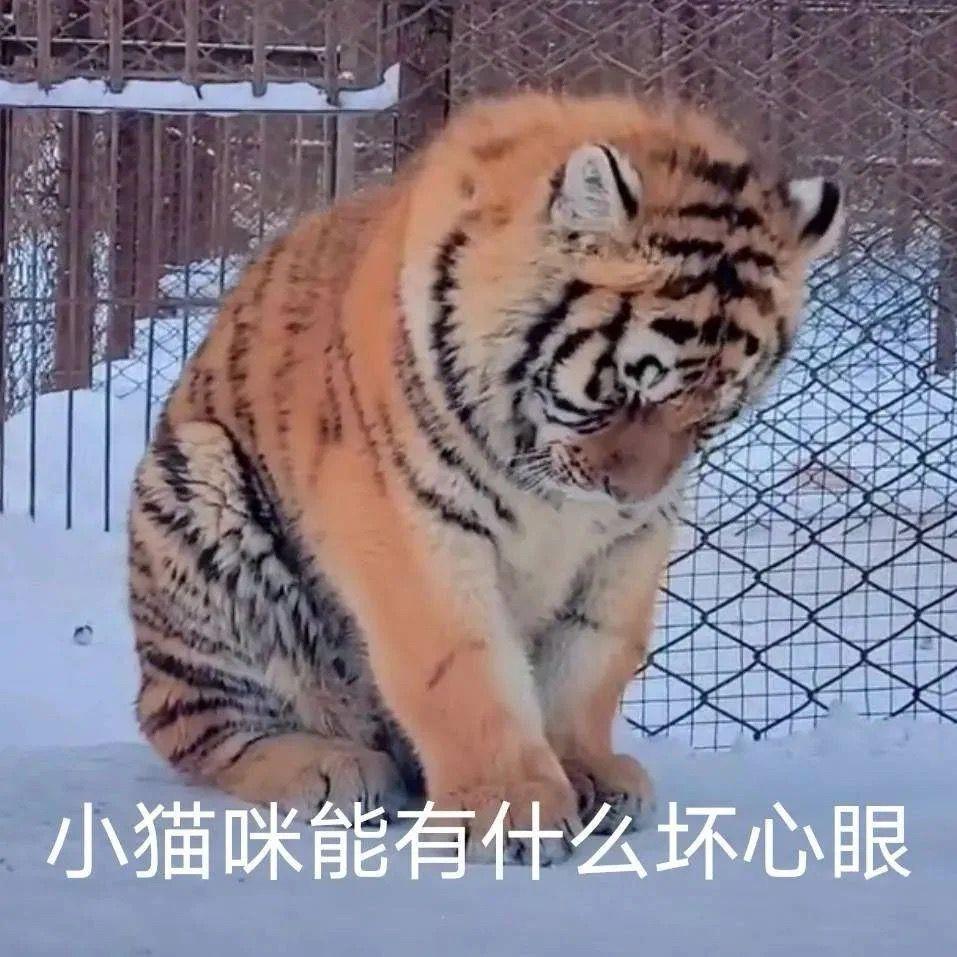 老虎小猫咪能有什么坏心眼