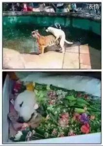 小狗把狮子给上了,然后挂了送鲜花